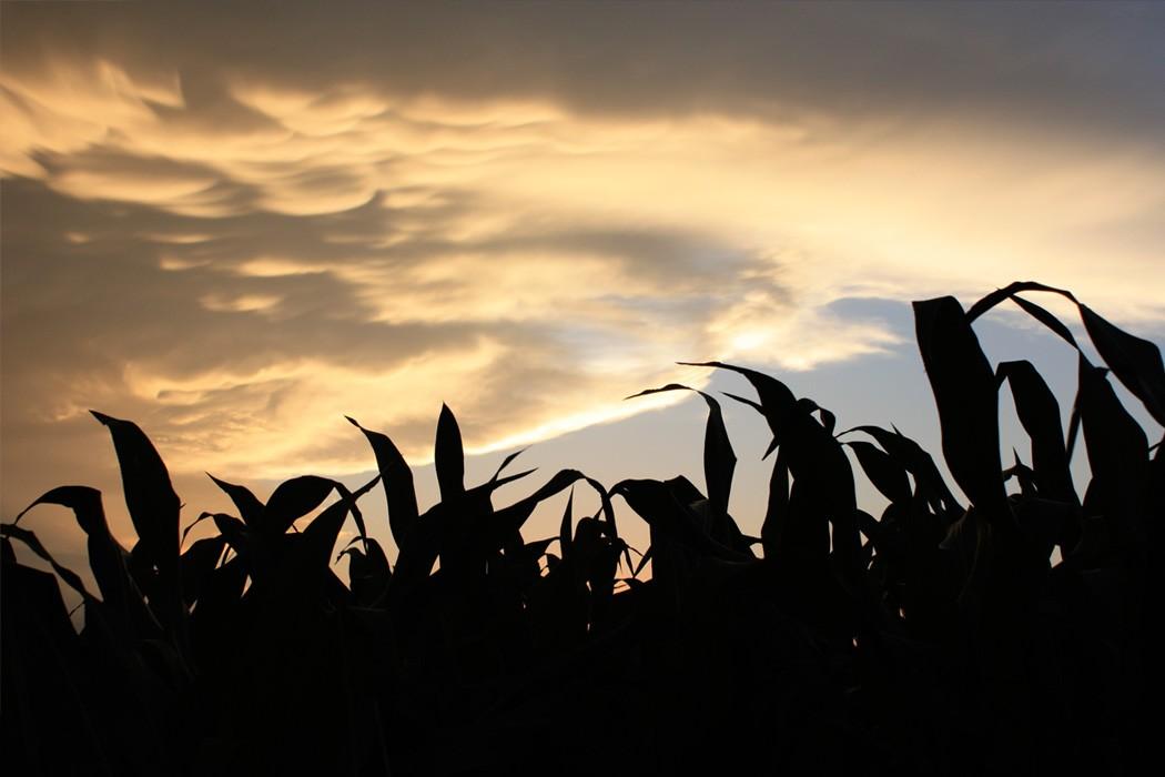 Dusk Amid the Cornfield
