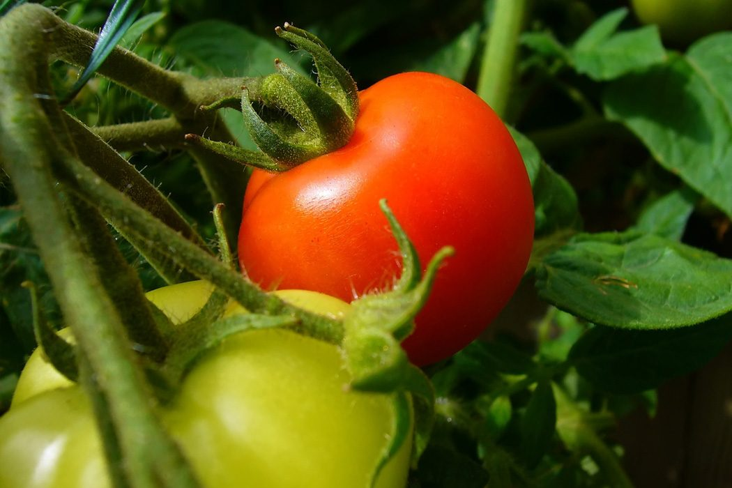 Growing a legacy, one tomato at a time